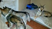 Dia, Karak och Akira väntar på att få mat i lilla stugan vi sov i hos kenneln